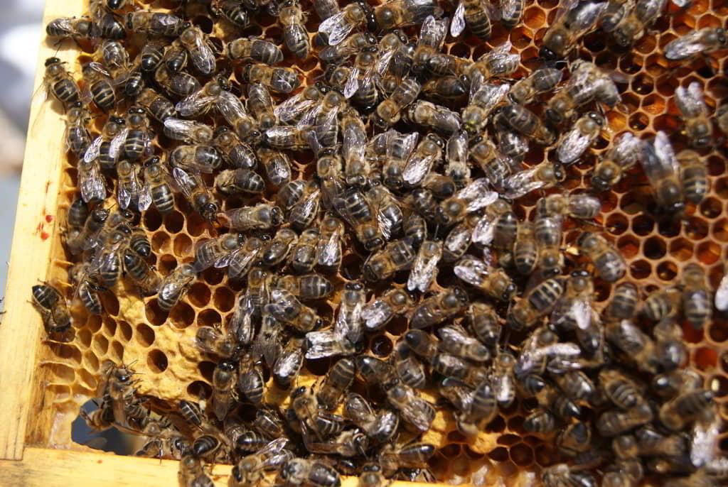 abejas a mogollón